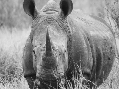 black and white photo of a rhino facing the camera