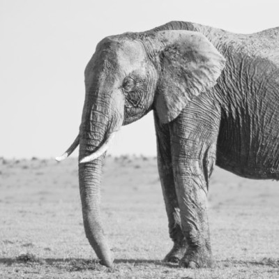 black and white photo of the front half of an adult elephant