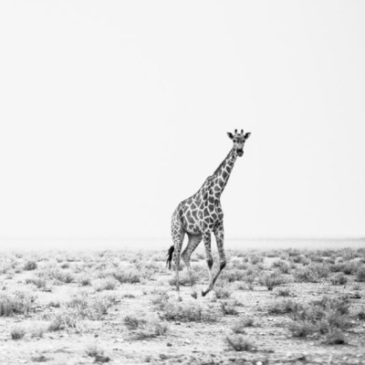 black and white photo of a lone giraffe running across the savannah