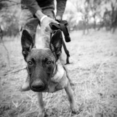 close up of a dog's head with a ranger in the background holding the K9 by the leash