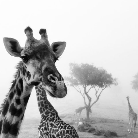 black and white closeup photo of a giraffe head with several giraffe in the background