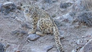 snow leopard sitting on a rocky hillside