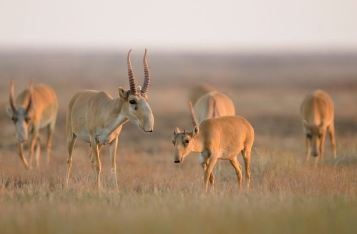 Saiga Antelope – Poaching and Wildlife Trafficking – Field Report