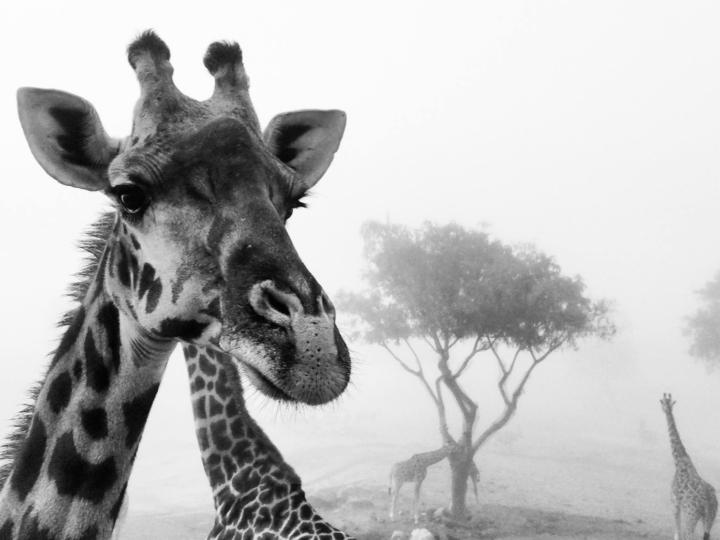 World Giraffe Day 2018