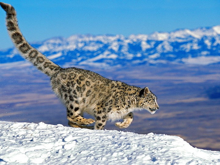 The Snow Leopard Protection and Conservation Drone Has Arrived!