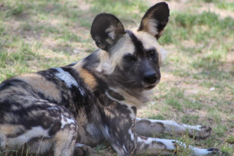 African Painted Dog lying in the grass.
