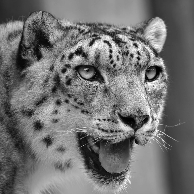 Snow leopard headshot