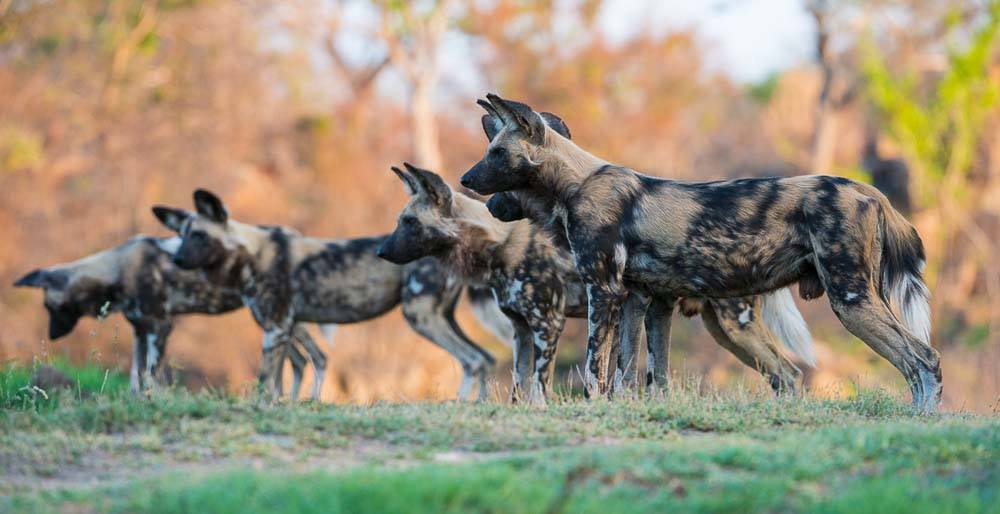 A pack of wild African painted dogs stand at attention