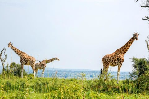 three giraffes standing on a hill with the African savannah in the background