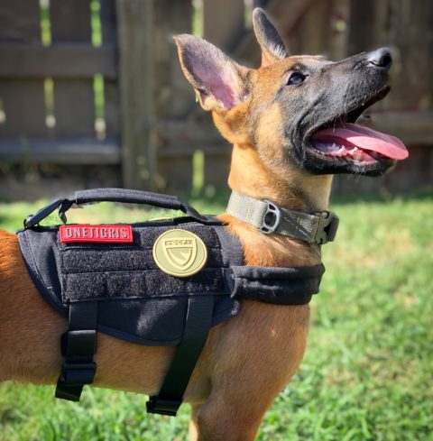 a tan Belgain Malinois puppy looking up and wearing a black working vest