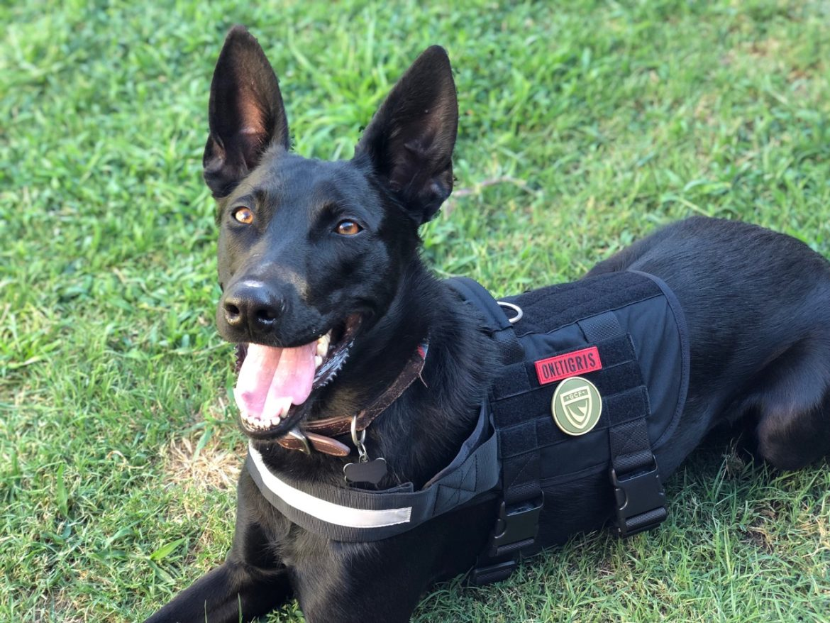 a black Belgain Malinois laying in the grass wearing a working vest