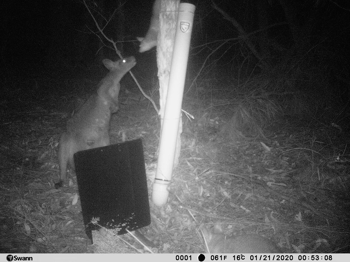 Black and white image taken at night of a wallaby sniffing a possum standing on the watering station