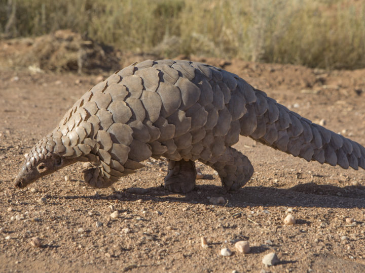 Emergency Response Funds – Pangolins