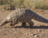 pangolin walking across barron earth