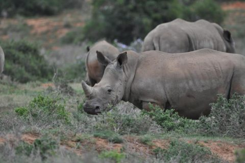 Two rhinos standing in the bush