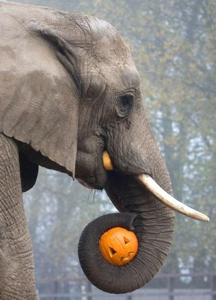 elephant holding a jack-o-lantern in its trunk