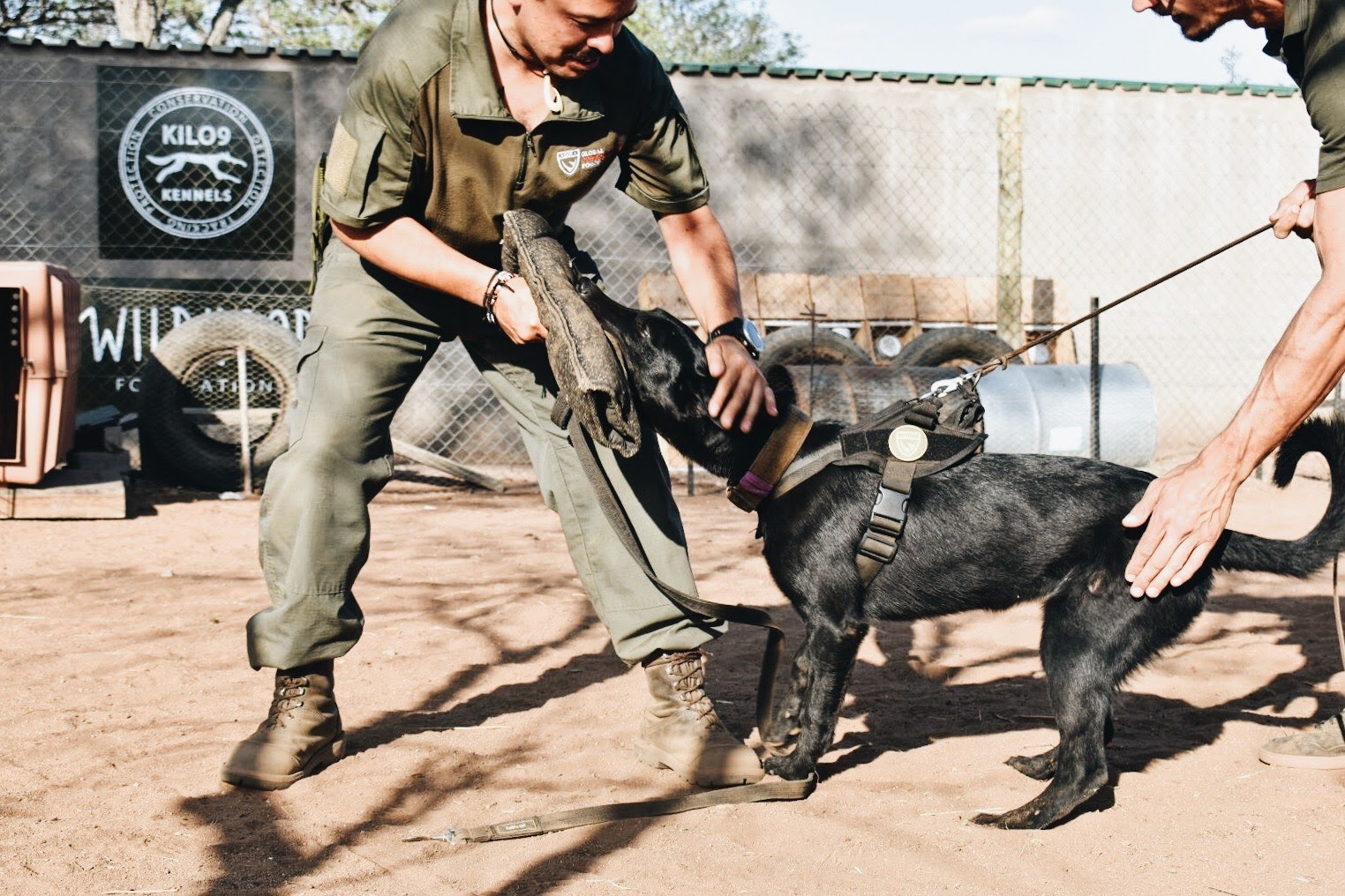 A black working dog in bite training with two handlers
